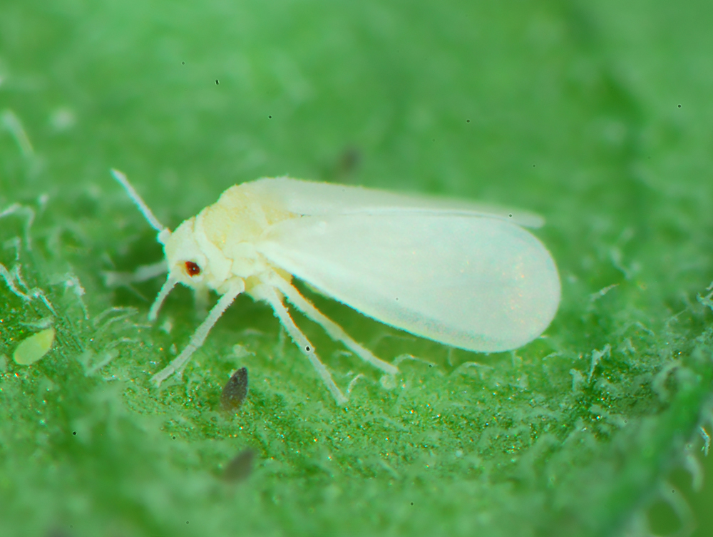 Seems Adult whitefly control idea